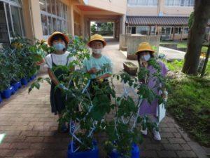 トマトがぐんぐん  大きくなっています! 5月に苗を植えたミニトマトが・・・こんなに大きくなりました。朝の準備が終わるとすぐに外に出て、ミニトマトに水やりをしている子もいます。実がなり始めている子もいるので、収穫の日が楽しみです。